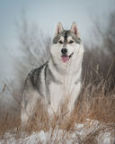 Perro esquimal en el paseo Fotografía de archivo libre de regalías