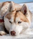 Perro esquimal en Islandia Imágenes de archivo libres de regalías