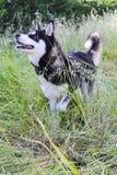 Perro esquimal en la acción Imágenes de archivo libres de regalías