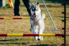 Perro esquimal en la agilidad del perro, deporte del perro Imagen de archivo