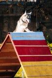 Perro esquimal en la agilidad del perro, deporte del perro Imágenes de archivo libres de regalías