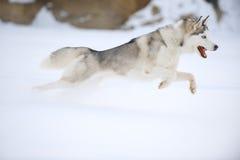 Perro esquimal en la caza Imagen de archivo