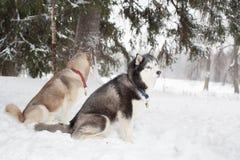 Perro esquimal en la nieve Invierno Bosque Imagen de archivo libre de regalías