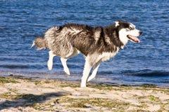 Perro esquimal en la playa Imagenes de archivo