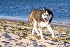 Perro esquimal en la playa imágenes de archivo libres de regalías