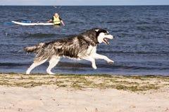 Perro esquimal en la playa fotografía de archivo