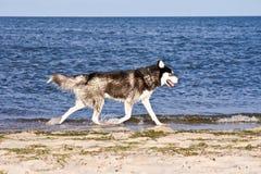 Perro esquimal en la playa fotos de archivo libres de regalías