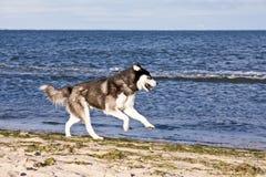 Perro esquimal en la playa foto de archivo