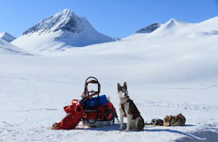 Perro esquimal en Laponia foto de archivo libre de regalías