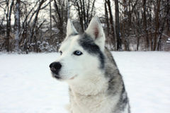 Perro esquimal en nieve Foto de archivo