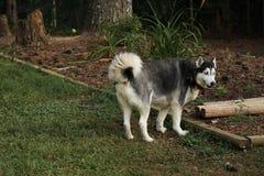 Perro esquimal en patio trasero Fotografía de archivo libre de regalías