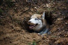 Perro esquimal en un agujero Imagen de archivo libre de regalías
