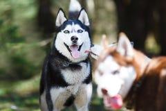 Perro esquimal en un bosque imagenes de archivo