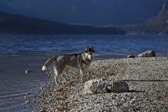 Perro esquimal en un a orillas del lago (2) Fotografía de archivo libre de regalías