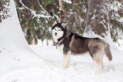 Perro esquimal hermoso Bosque congelado Foto de archivo libre de regalías