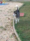 Perro esquimal hermoso en el parque que camina libremente Fotos de archivo libres de regalías