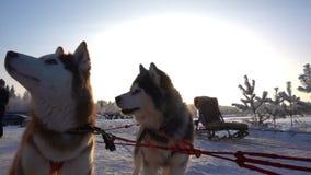 Perro esquimal joven dos en el arnés, cámara lenta almacen de metraje de vídeo