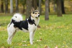 Perro esquimal lindo en un parque Fotos de archivo