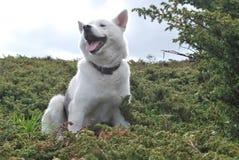 Perro esquimal para un paseo en las montañas en verano Imágenes de archivo libres de regalías