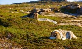Perro esquimal que toma el sol en el sol Imagen de archivo libre de regalías