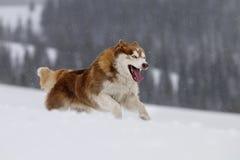 Perro esquimal siberiano. Imágenes de archivo libres de regalías