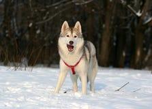 Perro esquimal siberiano Foto de archivo