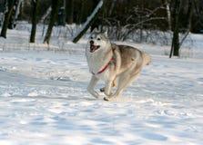 Perro esquimal siberiano Imágenes de archivo libres de regalías