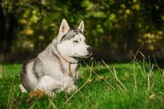 Perro esquimal siberiano Imagen de archivo
