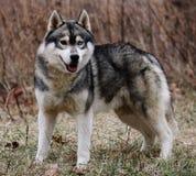 Perro esquimal siberiano fotos de archivo libres de regalías