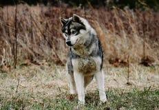 Perro esquimal siberiano fotografía de archivo