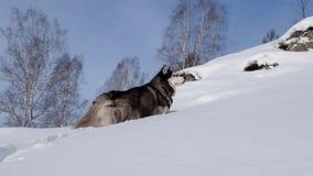 Perro esquimal siberiano almacen de metraje de vídeo