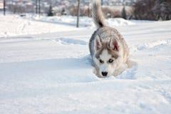 Perro esquimal siberiano Fotos de archivo