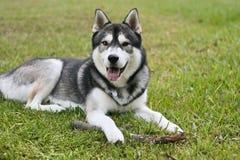 Perro esquimal siberiano afuera Imágenes de archivo libres de regalías