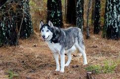 Perro esquimal siberiano con los ojos azules fotografía de archivo libre de regalías
