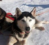 Perro esquimal siberiano y ojo azul imagen de archivo
