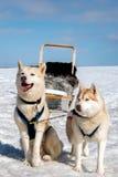 Perro esquimal sledding del perro en Islandia Fotos de archivo