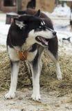 Perro esquimal tenso Imágenes de archivo libres de regalías
