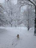Perro esquimal y país de las maravillas del invierno, nuestro jardín en Serbia, Fruska Gora fotografía de archivo libre de regalías
