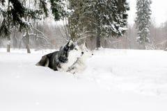 Perro esquimal y samoyedo del perrito que mienten en la nieve Imagen de archivo libre de regalías