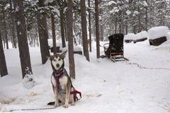 Perro esquimal y trineo Imagen de archivo libre de regalías