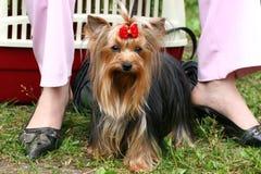 Perro excelente en las piernas (se alza) de la señora Fotografía de archivo