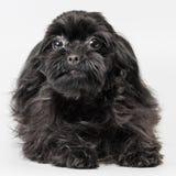 Perro faldero coloreado ruso en el estudio imágenes de archivo libres de regalías