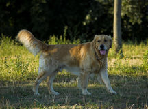 Perro feliz Fotografía de archivo