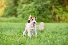 Perro feliz adorable del fox terrier en el greetin del Año Nuevo del parque 2018 Foto de archivo libre de regalías