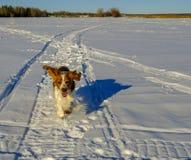 Perro feliz con los oídos del vuelo Imágenes de archivo libres de regalías
