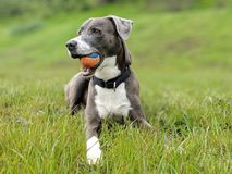 Perro feliz con una bola en boca encendido en hierba en retrato con el fondo herboso borroso imagen de archivo libre de regalías