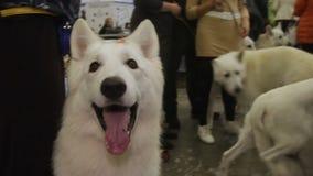 Perro feliz de Jindo del coreano que se sienta cerca de las piernas del dueño y que mira alrededor, demostración del animal domés metrajes