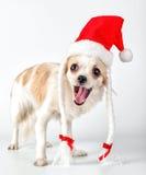 Perro feliz de la chihuahua con el sombrero de Papá Noel para el diseño de la tarjeta de Navidad Fotos de archivo libres de regalías