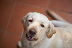 Perro feliz de Labrador Foto de archivo