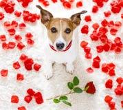 Perro feliz de las tarjetas del día de San Valentín foto de archivo